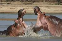Hippos fighting, like members of the Berwick Town Council